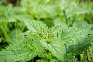 stinging-nettle has anti inflammation properties